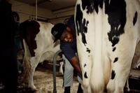 Veterinary Technology student with a cow at SUNY Delhi